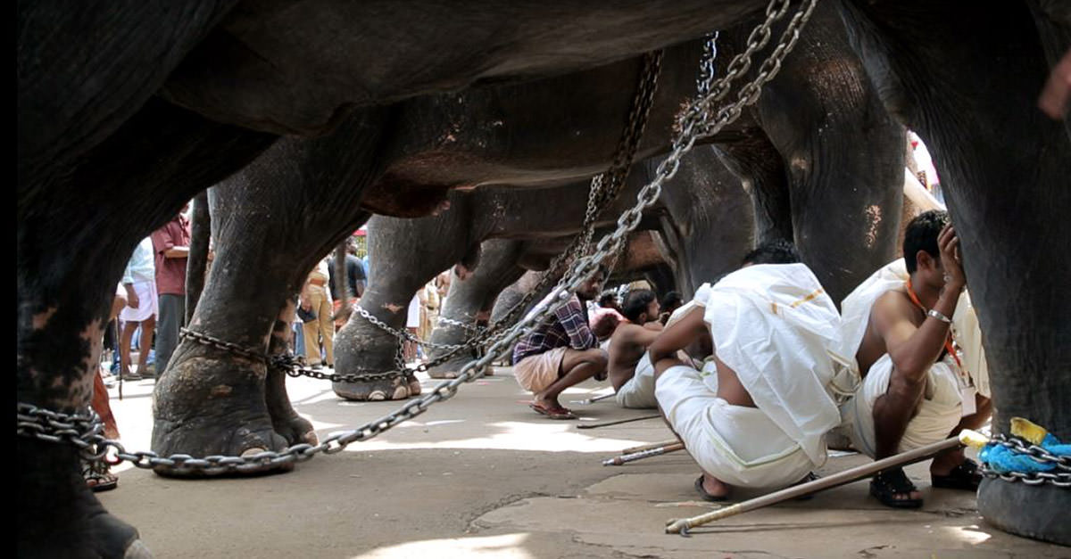 Elephants-Shackled